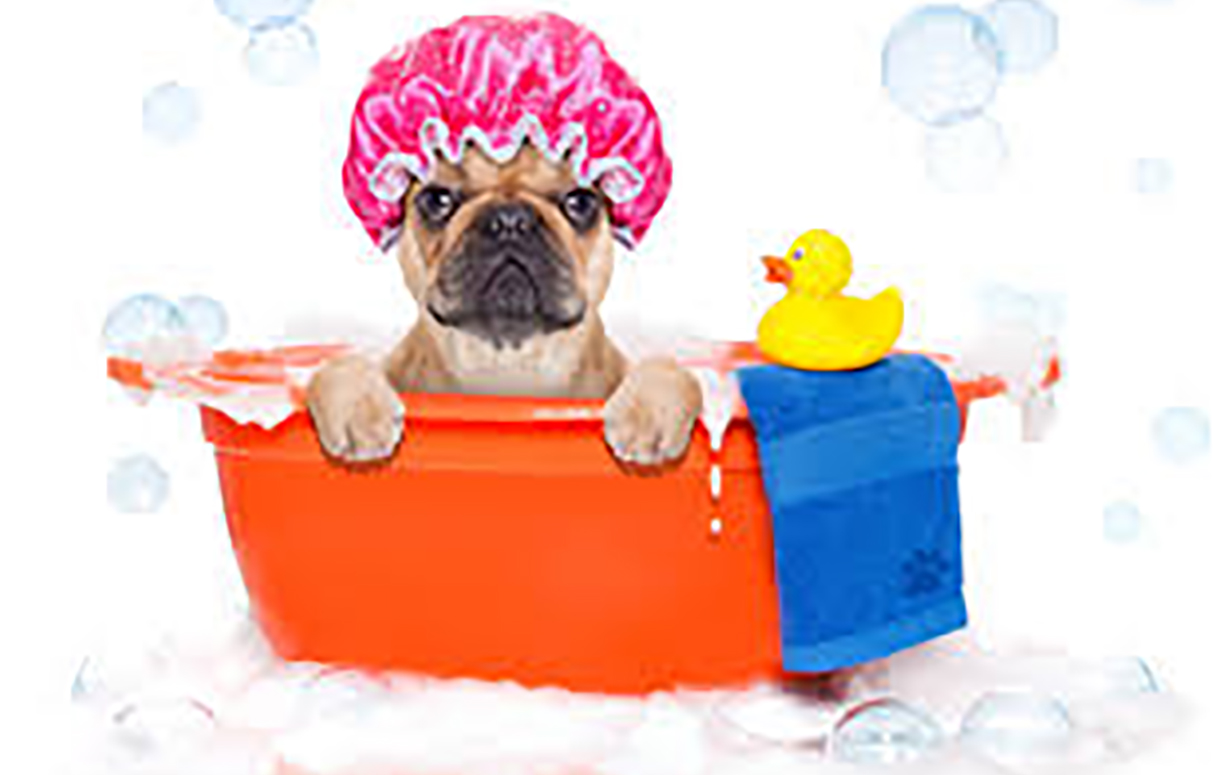 Close up of French bulldog in a tub taking a bath on a white background.