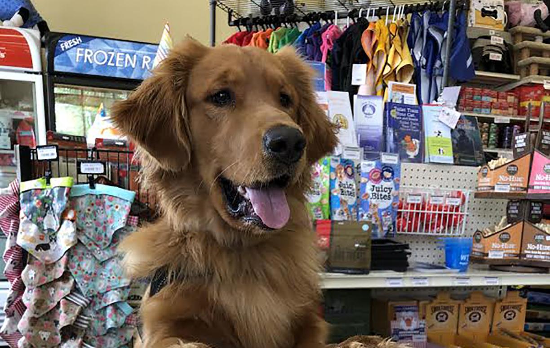 Close up of golden retriever on a pet store.